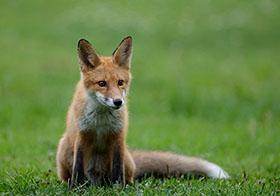 坐在草坪上的棕色狐貍