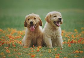 兩只蹲在草坪上可愛的小狗