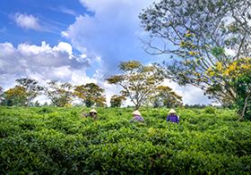 蓝天白云下采茶活动高清图