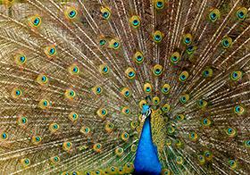 美麗的孔雀開屏高清圖
