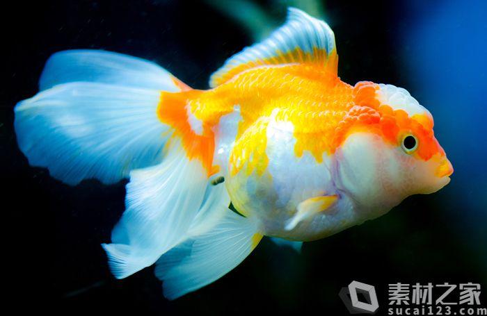 水中蝶尾金鱼高清图