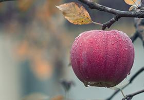 枝头上的红苹果高清图