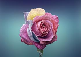 多彩高貴玫瑰花封面高清圖