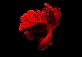 艳丽大红裙红色斗鱼高清图