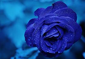 清纯的爱蓝色妖姬封面高清图