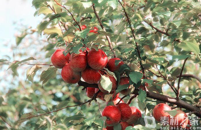 挂满枝头的红苹果高清图