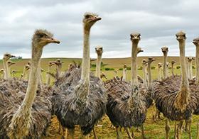 草原上的鸵鸟群高清图