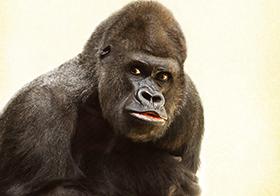 野生动物大猩猩高清图