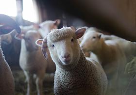 可爱小绵羊高清图