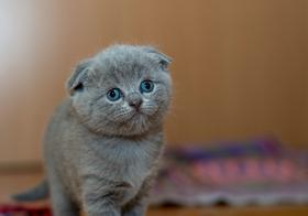 苏格兰折耳猫高清图