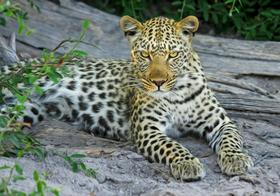 大型猫科动物猎豹高清图