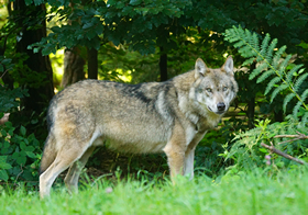 草原上的灰狼高清图