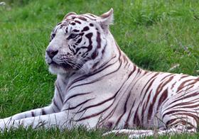 趴著的白虎高清圖