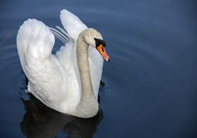 美丽白天鹅高清图