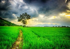 农田中绿油油的禾苗高清图