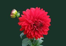 盛开的红色花朵封面高清图