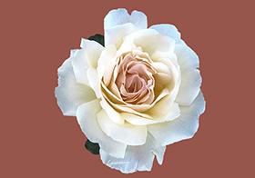 純潔白玫瑰背景高清圖