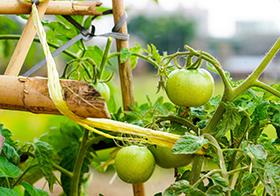 新鲜青番茄高清图
