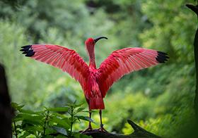 羽色鮮紅的美洲紅鹮
