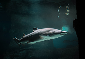 兇猛的鯊魚高清圖