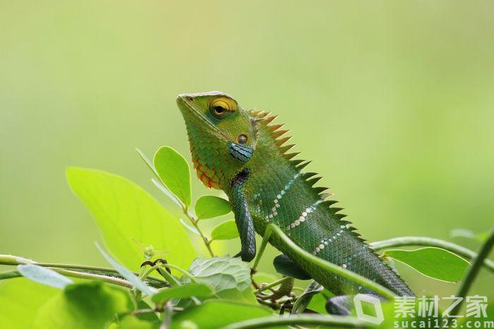 叶子上的绿色蜥蜴高清图