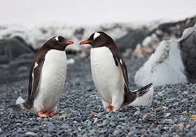 白白肚皮可爱的企鹅高清图