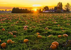日出時分的南瓜園背景高清圖