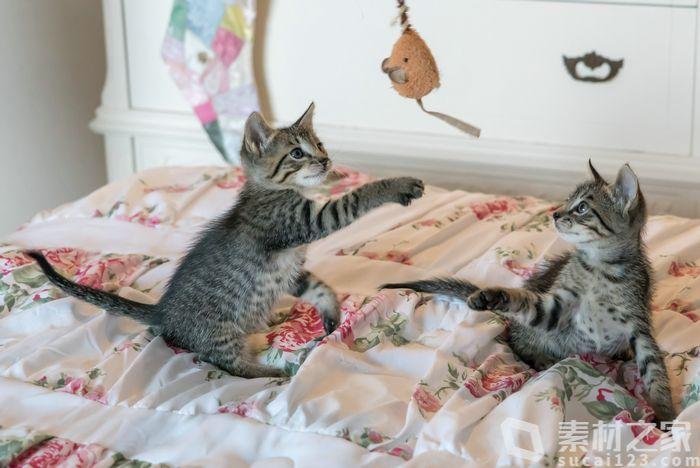 兩只在床上玩耍的小貓