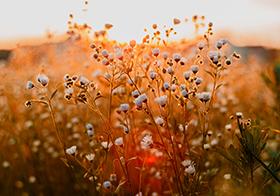 黃昏時刻的小花高清圖