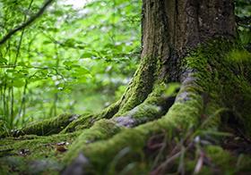 長滿青苔的樹根高清圖