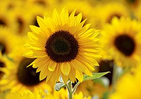 向陽花開向日葵高清圖