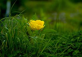 草叢中的金蓮花背景高清圖