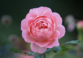 粉紅月季花背景高清圖