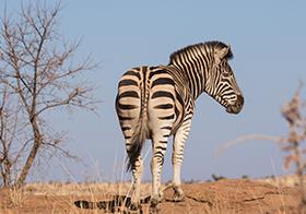 野生動物斑馬高清圖