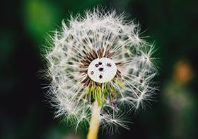 唯美花卉蒲公英高清图