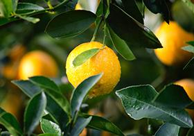 树上的新鲜柠檬高清图