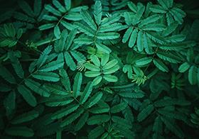 绿色植物含羞草高清图